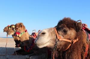 Ruta safari en Dromedario